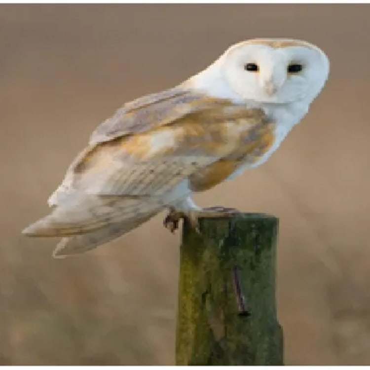 Owl Symbol of Death